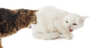 кошки рычат