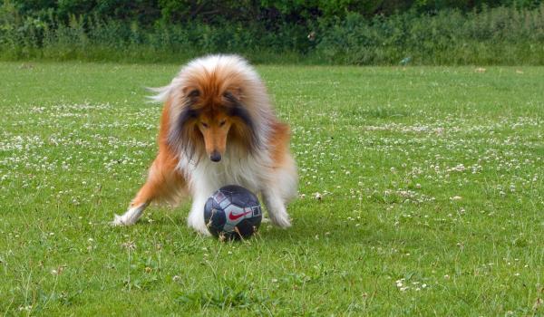 колли с мячом