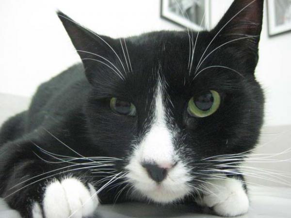 Синдром Хорнера у кошек