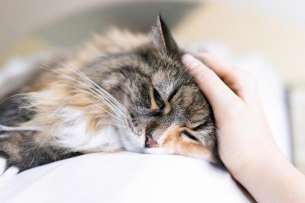 Обморок у кошек