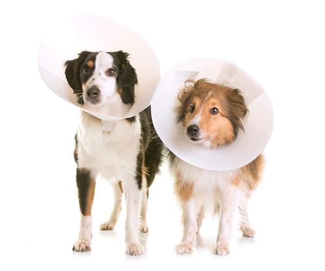Кастрация собаки и ее влияние на здоровье